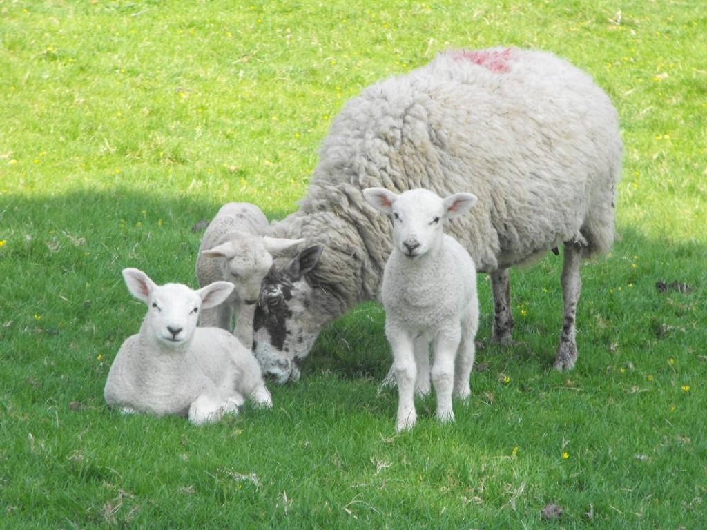 Sheep-Mulesing-Free