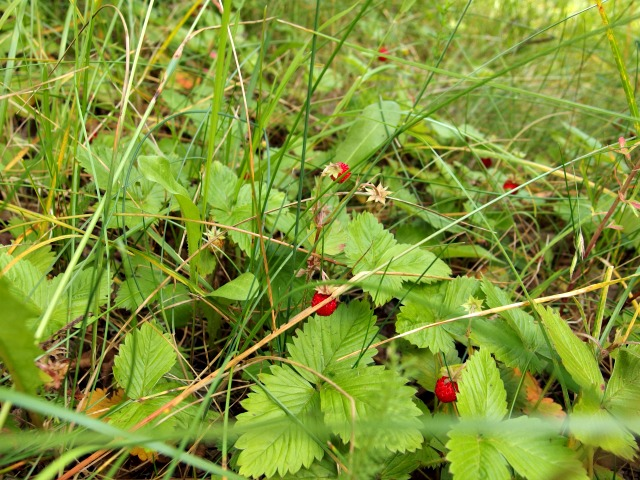 Schmalwassertalsperre-Erdbeeren