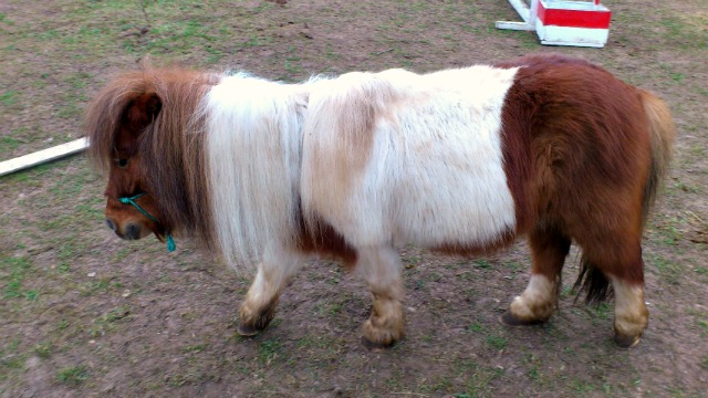 Grumpy Mini-Pony