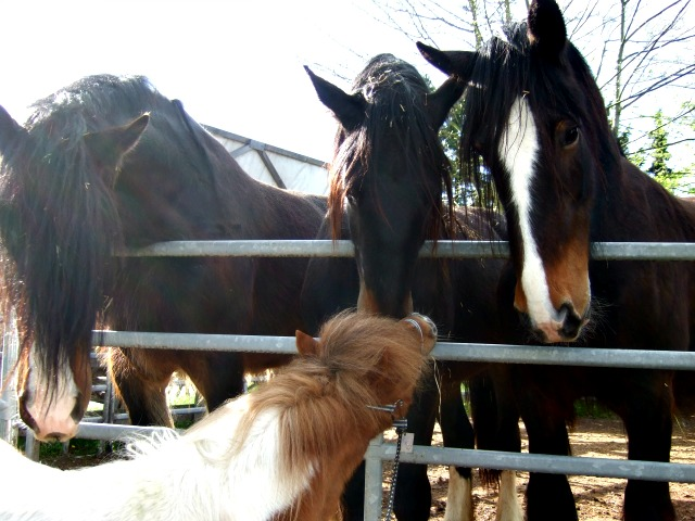 Mini-Pony Shirehorse